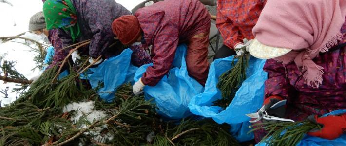 白神周辺の杉の材料採取がスタート