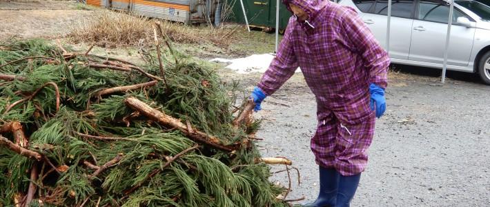 杉の枝葉の洗浄作業
